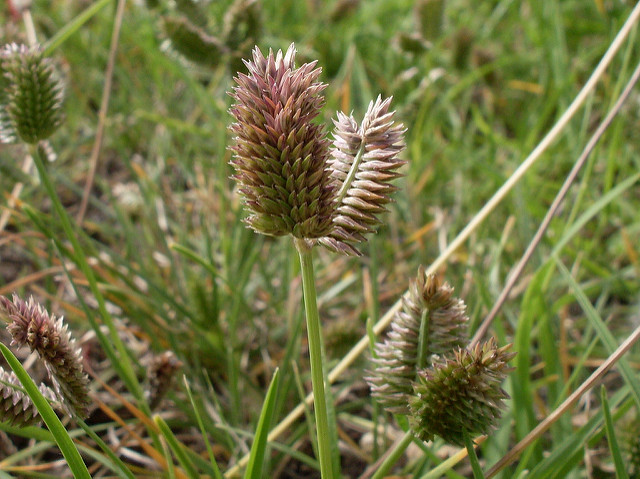 common weed in Memphis