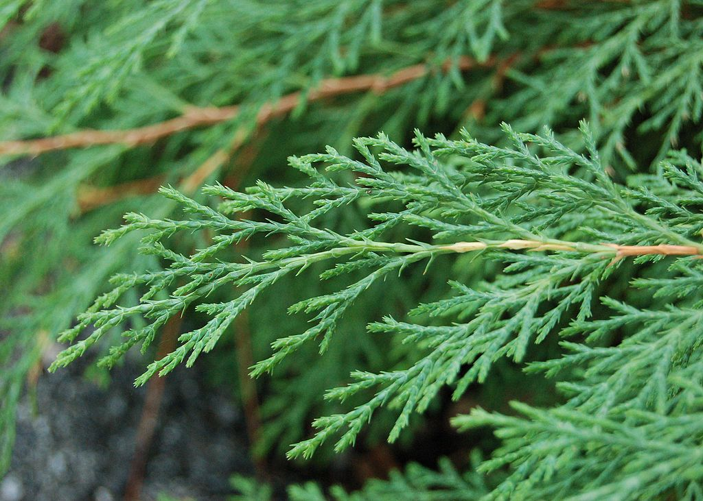Arborvitae leaves