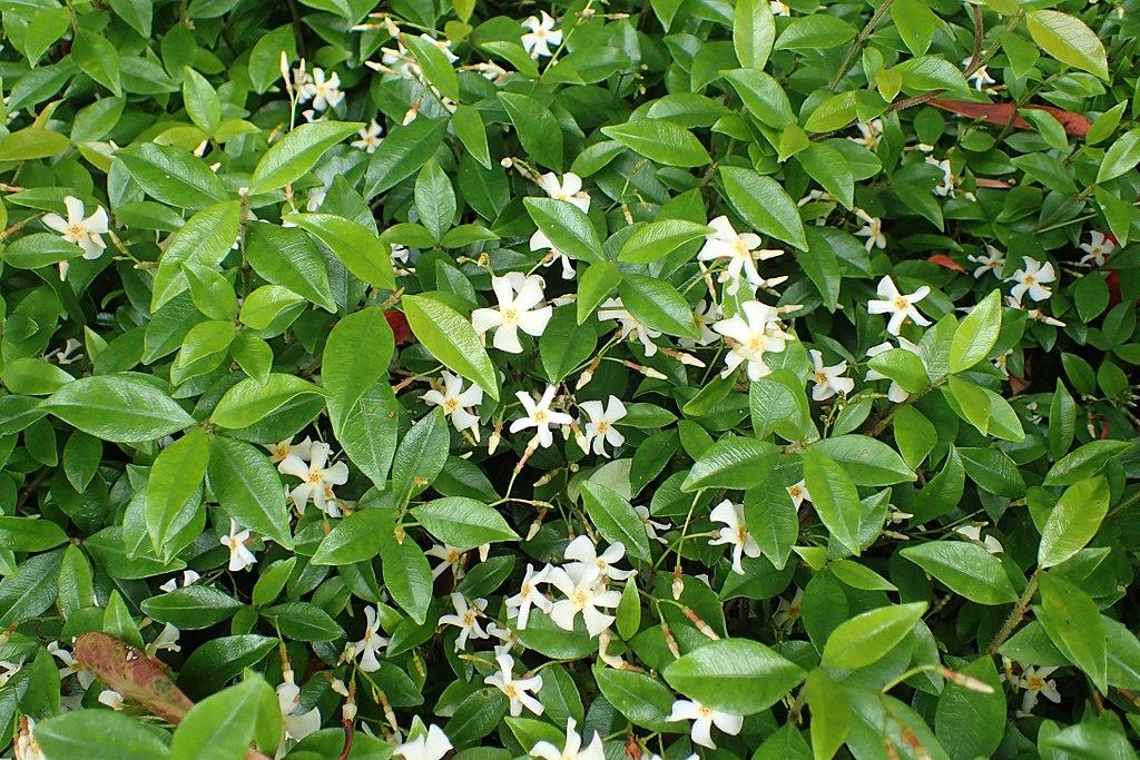 Asiatic Jasmine - Trachelospermum asiaticum
