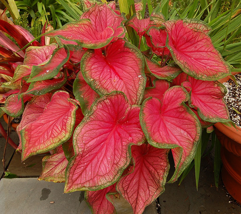 Caladium - Elephant Ear