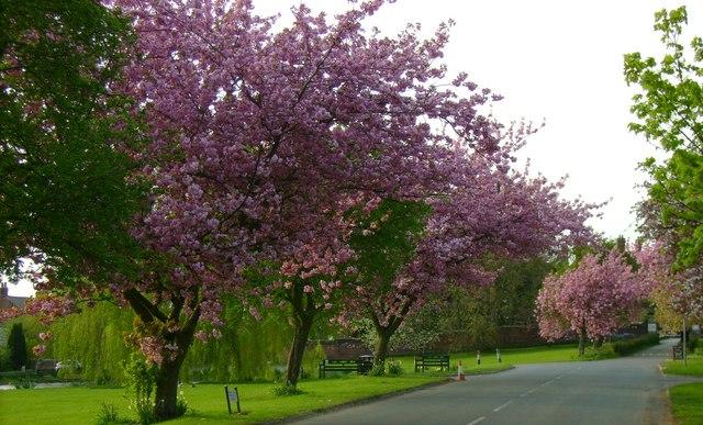 Cherry trees near pavement