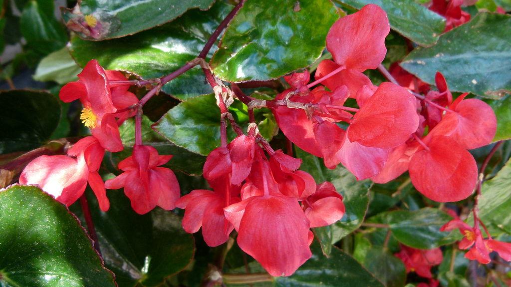 Dragon Wing Begonia plantings at medical facility
