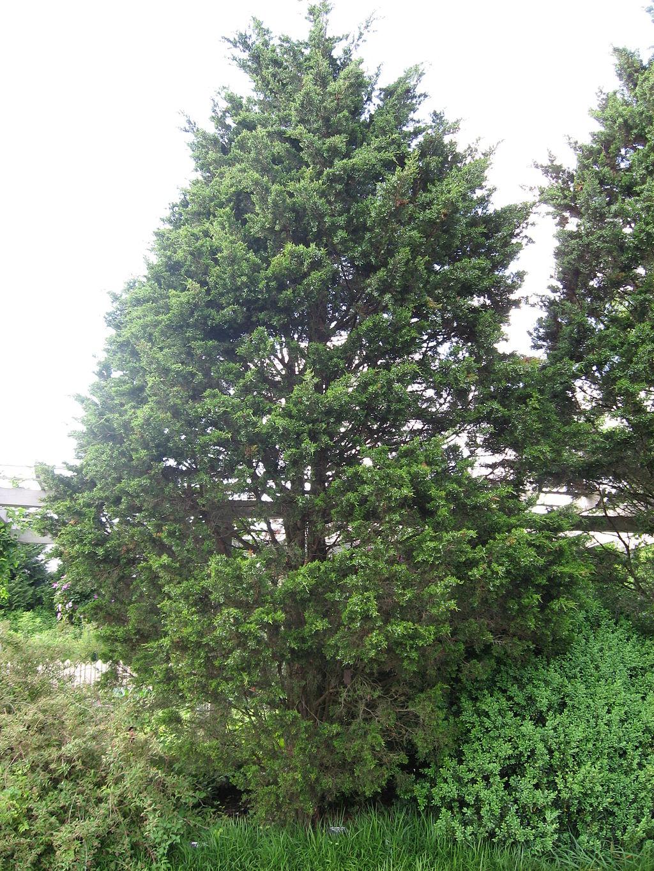 Eastern Red Cedar native tree