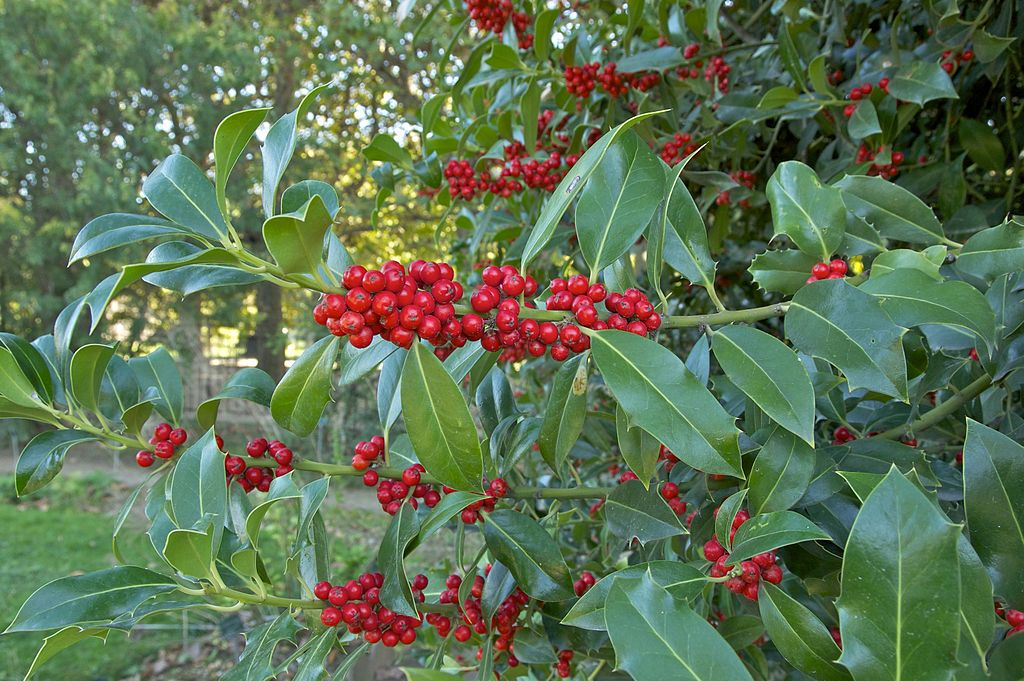 Holly evergreen plant