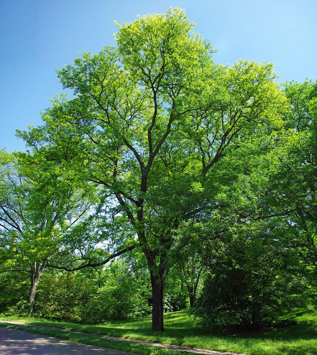 Honeylocust tree