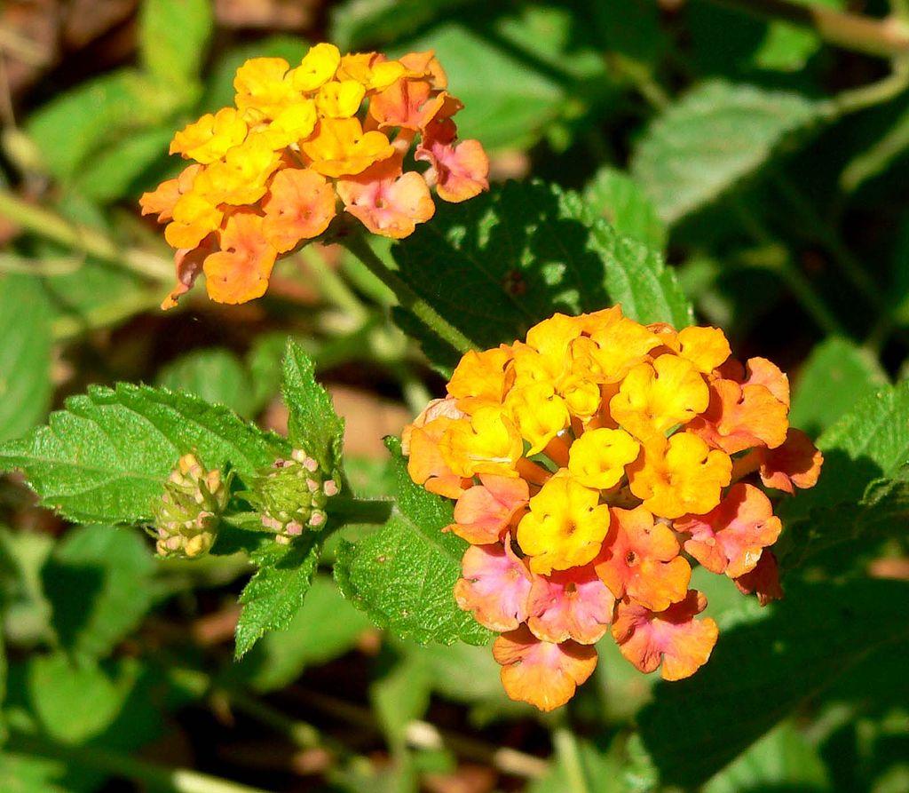 Lantana flowers for color at hospital entrance