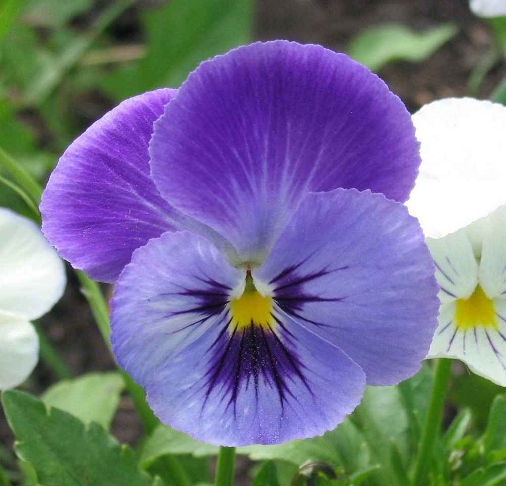 Pansy Flower for color at hospital entrance