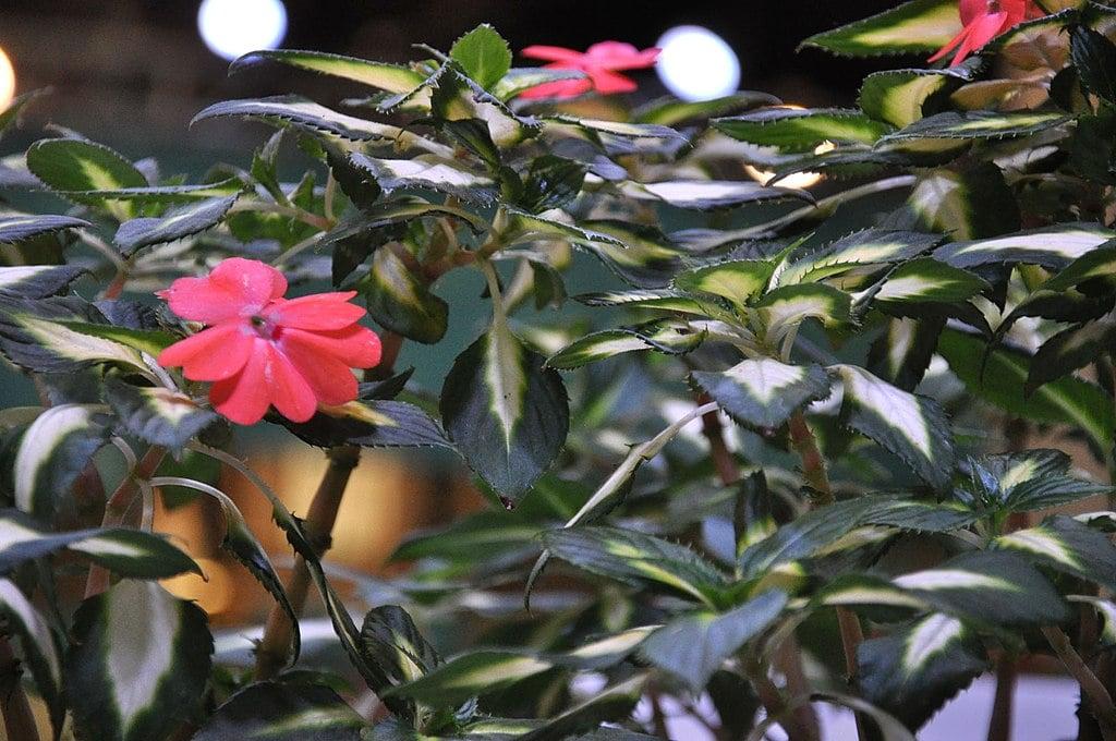 Sunpatiens flowers