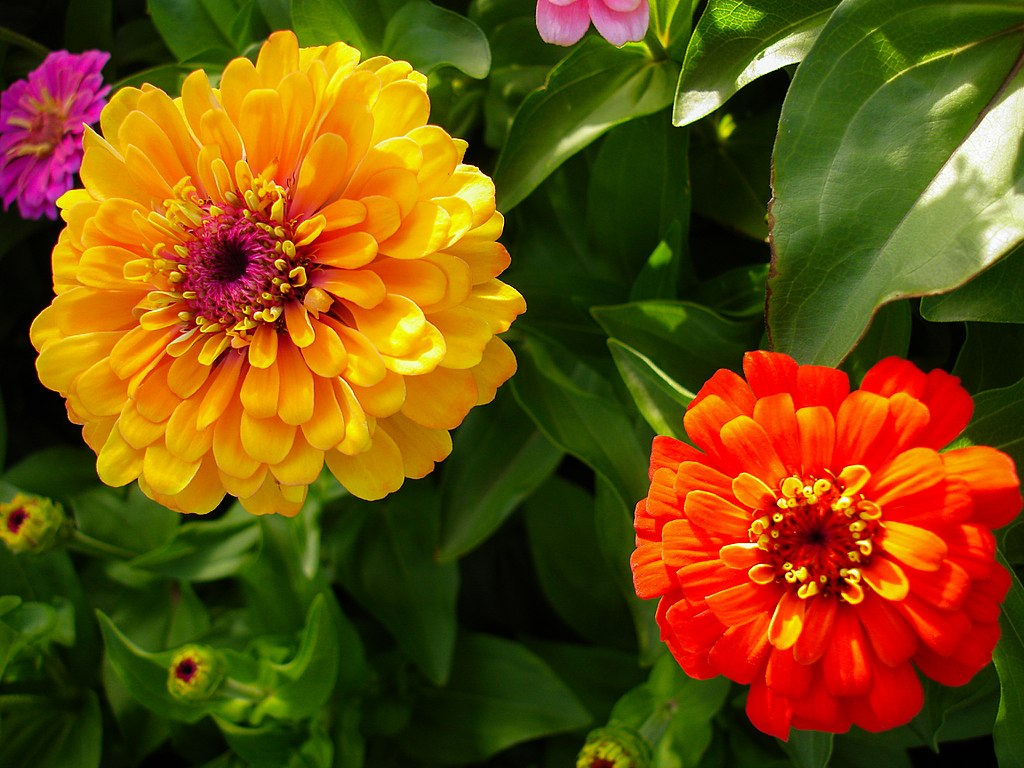 Zinnia flowers for planter