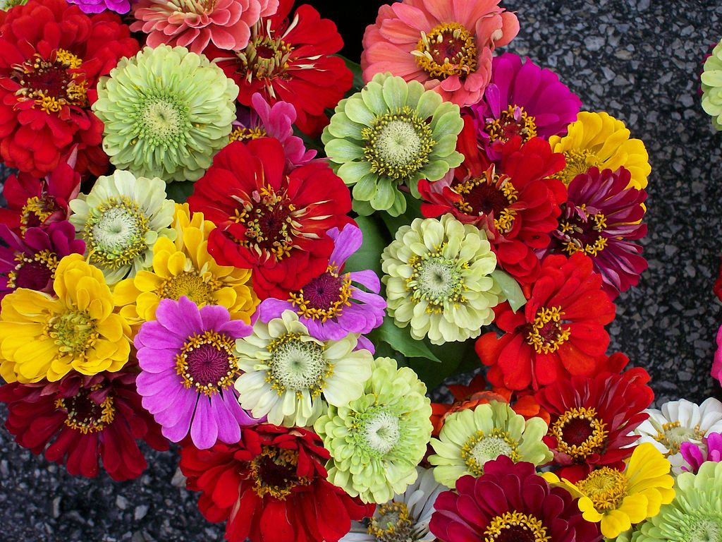 Zinnias for landscaping