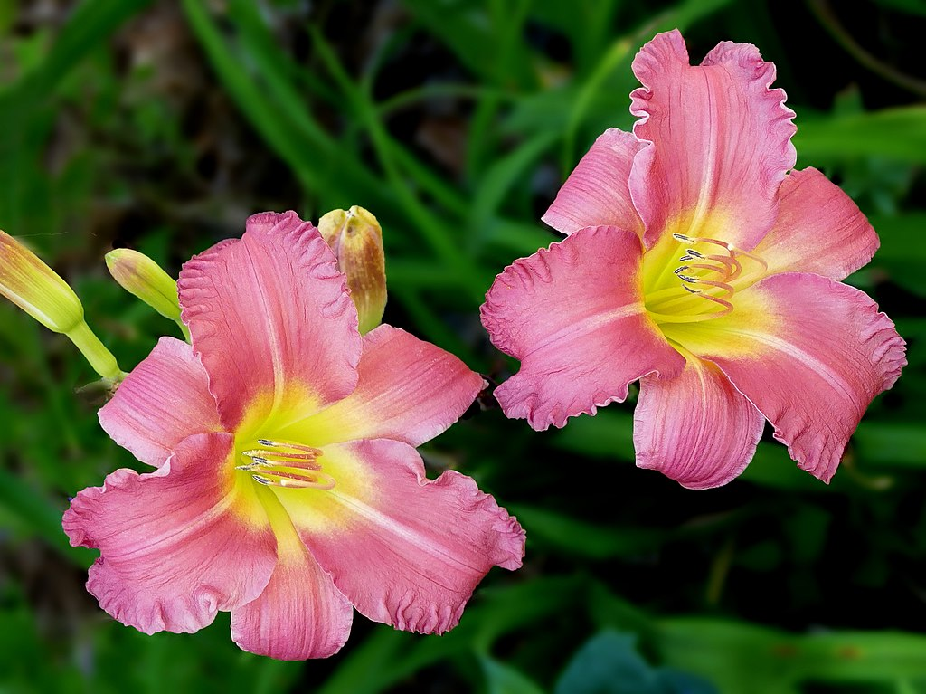 daylilies on commercial landscape