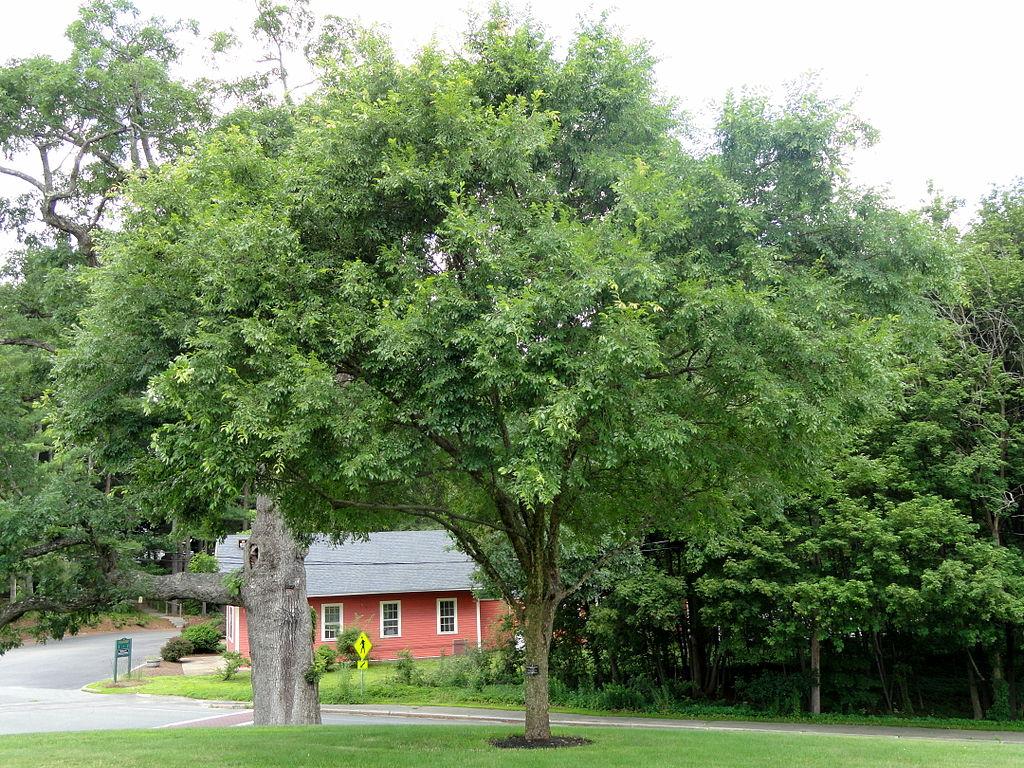 lacebark elm tree