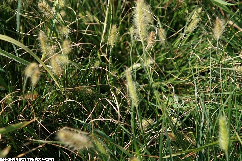 little bunny dwarf fountain grass