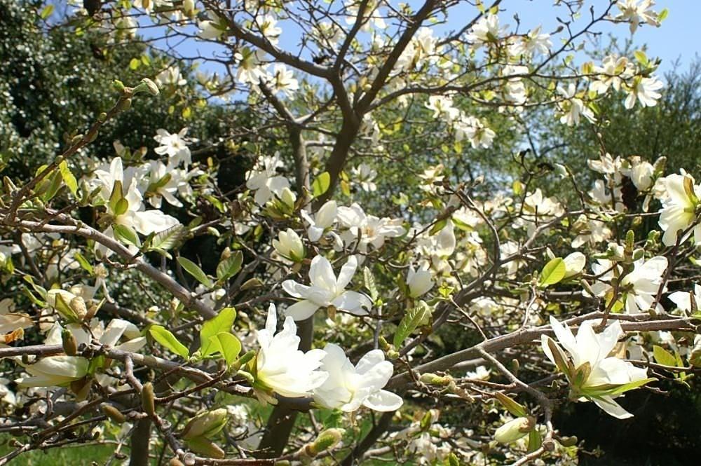Deciduous magnolia