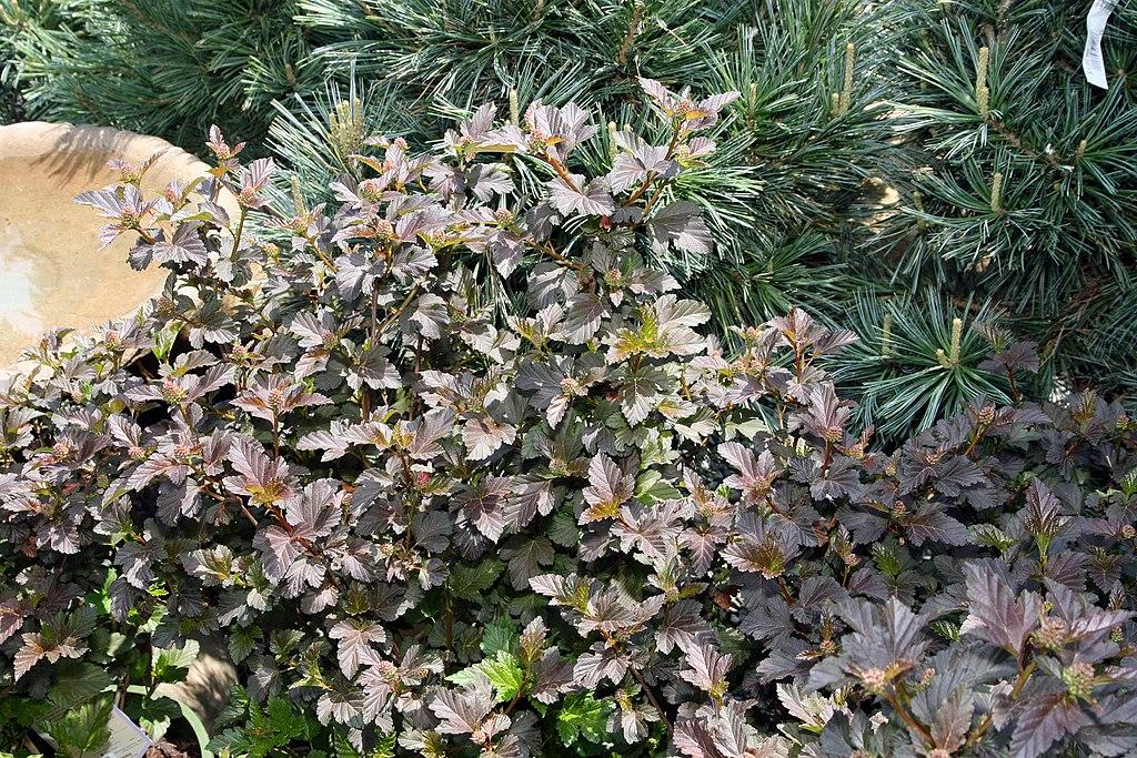 Ninebark native plant