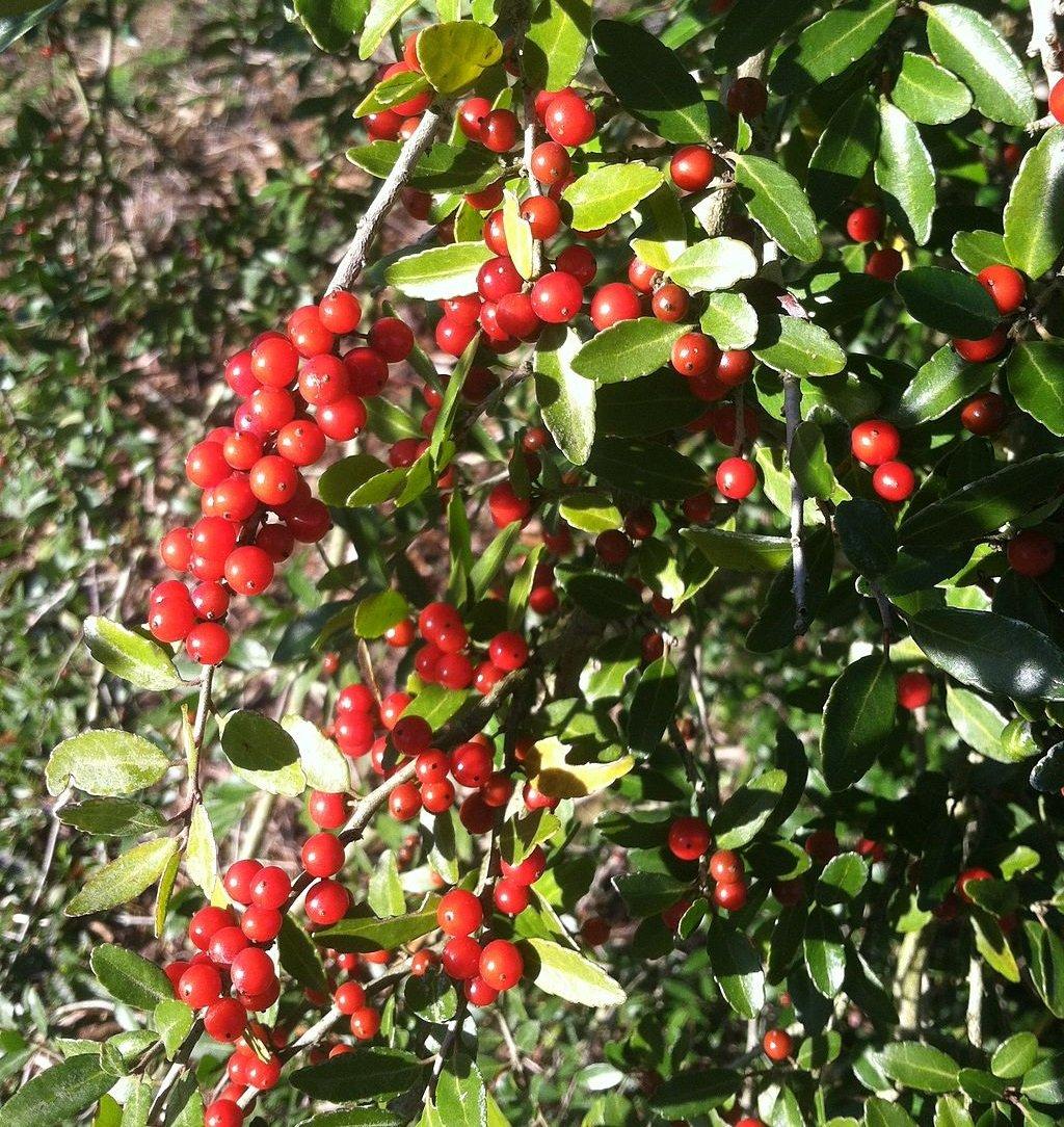 Yaupon holly berries