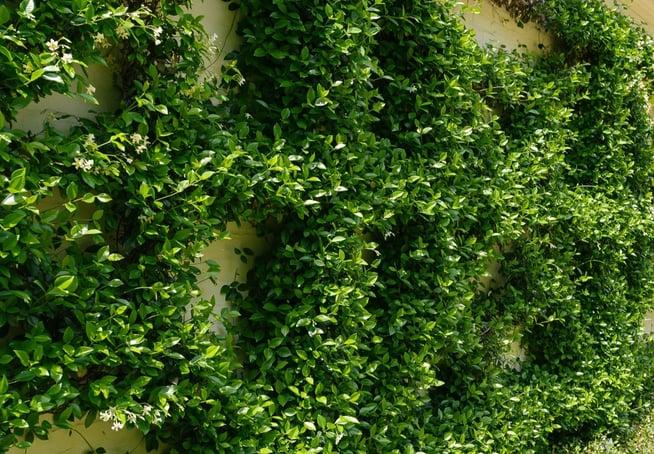 vine plantings at restaurant