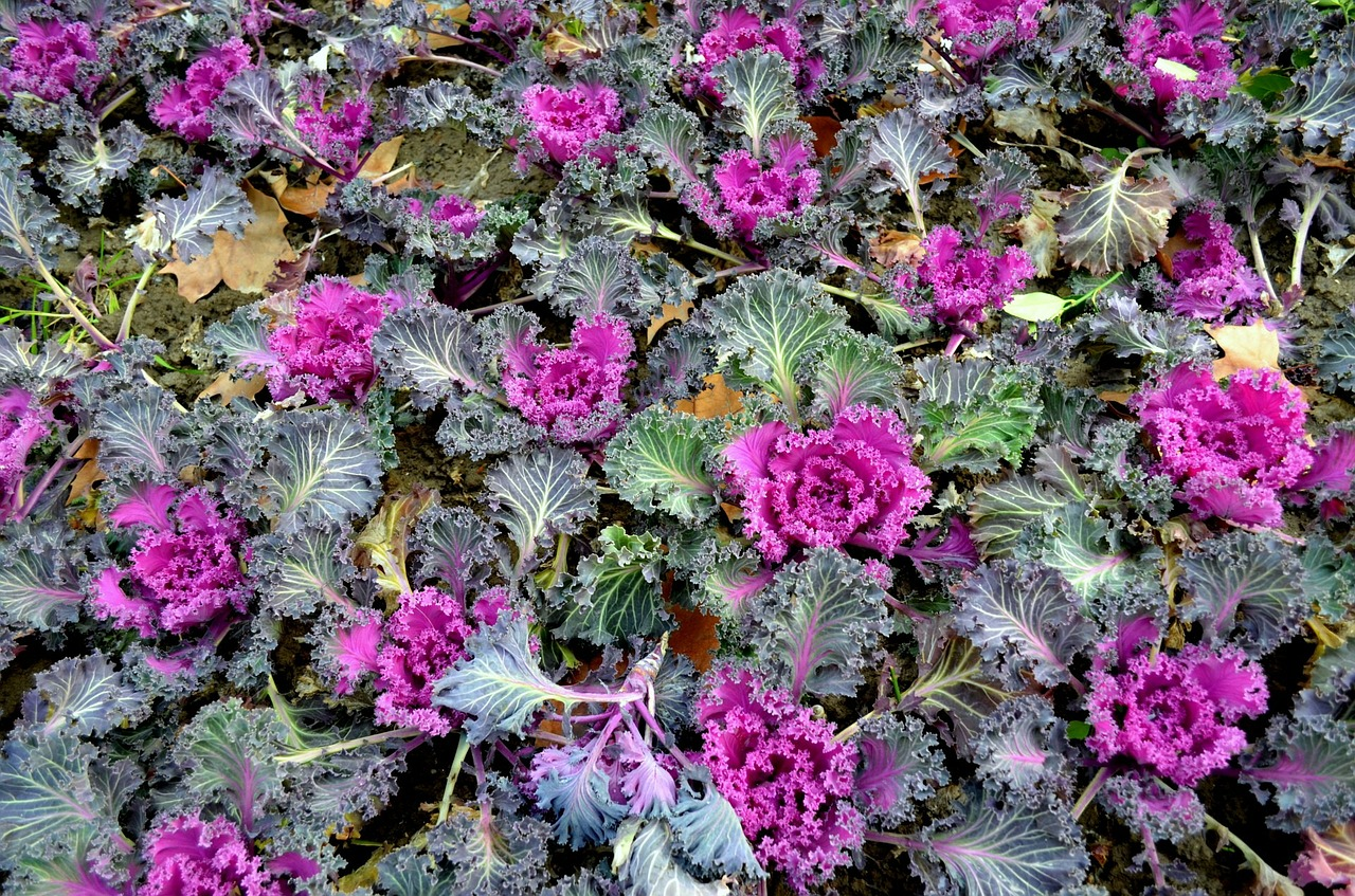 Ornamental cabbage for commercial landscaping