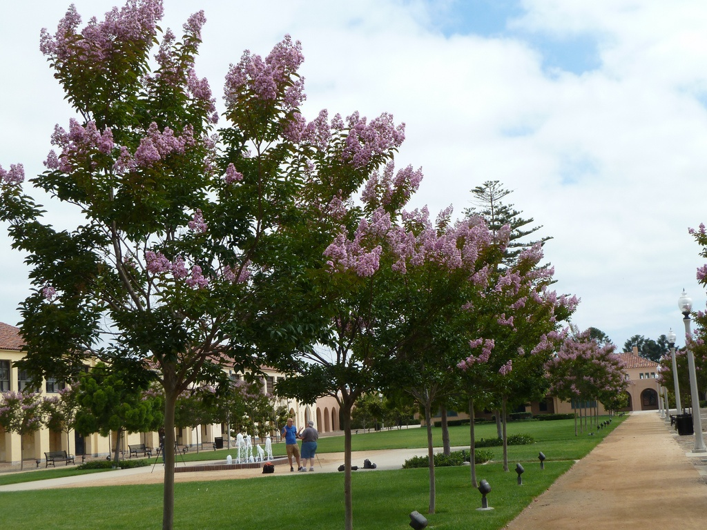 Crape Myrtles in Olive Branch