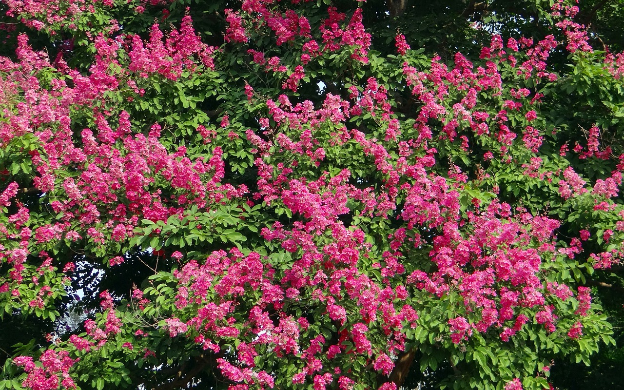 Giant Crape Myrtles outside of Memphis