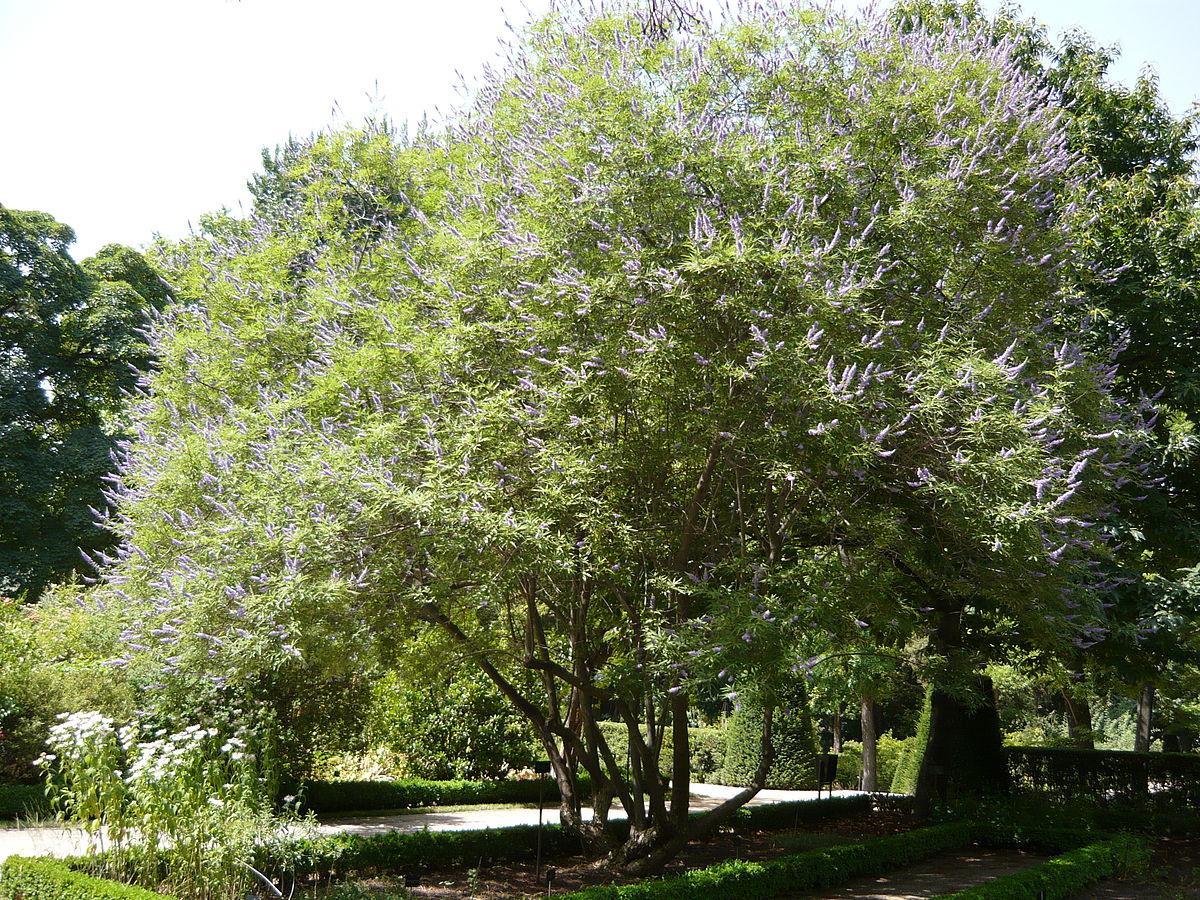 drought tolerant plant chaste tree