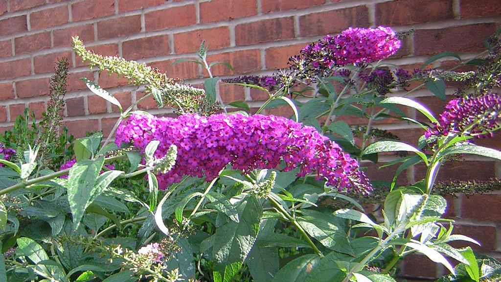 drought tolerant plant butterfly bush