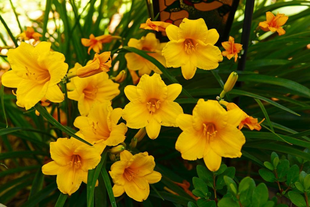 low maintenance plants daylillies