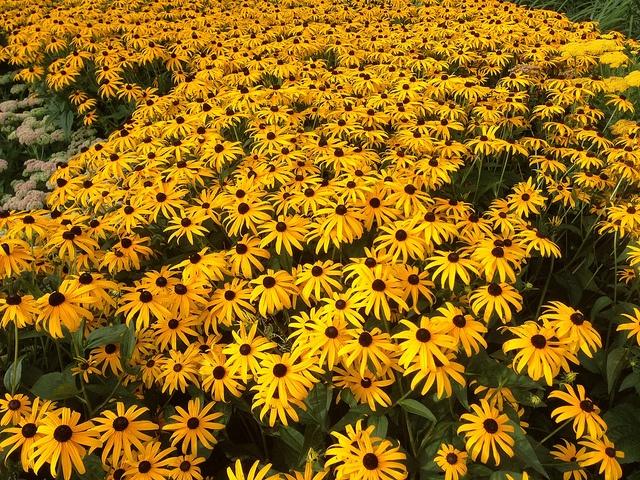 drought tolerant plants black eyed susan