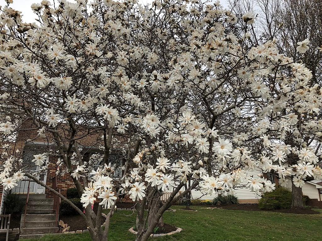 star magnolia tree