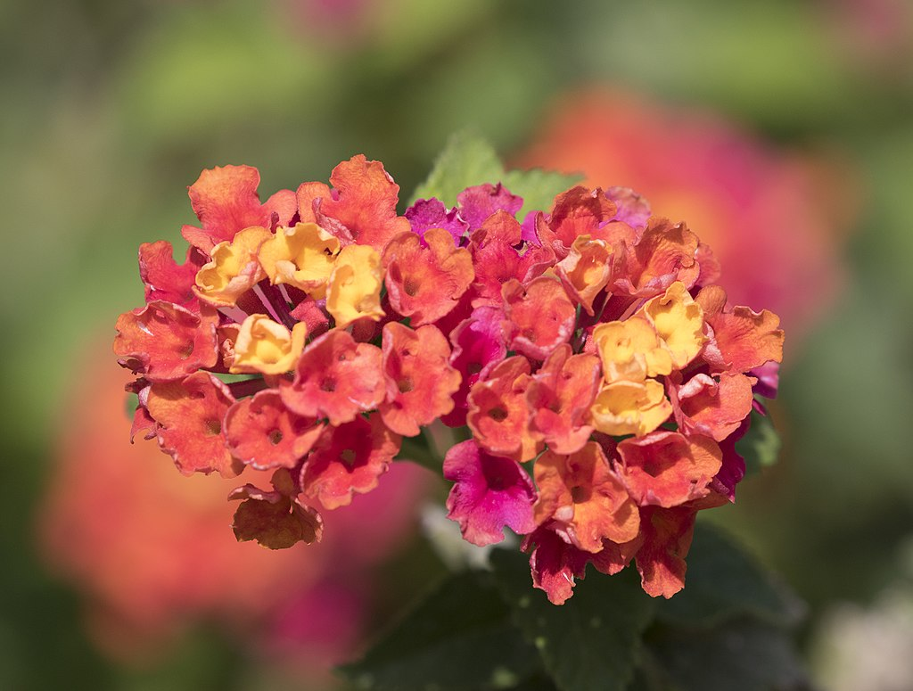 Lantana for container plant